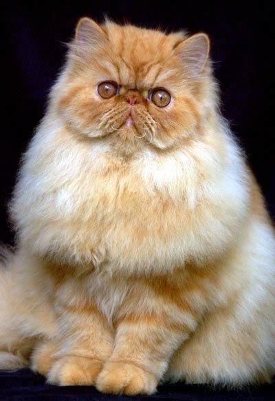 yanacatlovers macam macam warna bulu  kucing persia