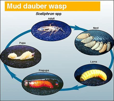 wasp cycle diagram the world s catalog of ideas