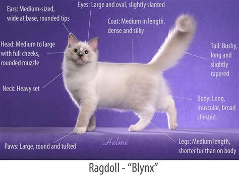 ragdoll rag f 04 ragdollstandard i bilder 04 uppf 246 dning och genetik