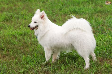 large breed from japan japanese spitz breed information buying advice photos and facts pets4homes