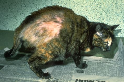 pattern hair loss in cats symmetrical hair loss in cats cute cats
