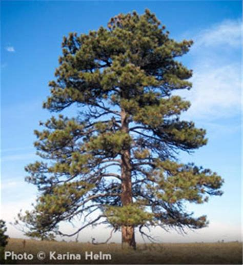 buy affordable ponderosa pine trees at our online nursery