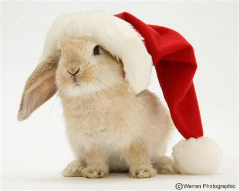 images of christmas rabbits bunny rabbits images santa bunny wallpaper and background