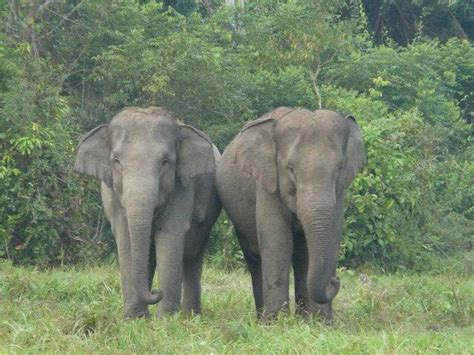 Tenda Anak Gajah gajah liar injak empat pengungsi rohingya hingga tewas