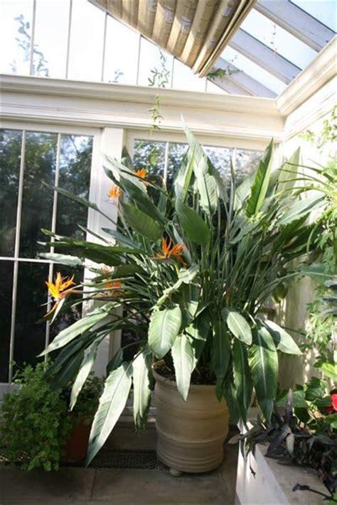 buy bird  paradise strelitzia reginae delivery  waitrose garden  association  crocus