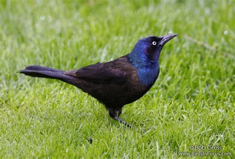birds in focus common grackle