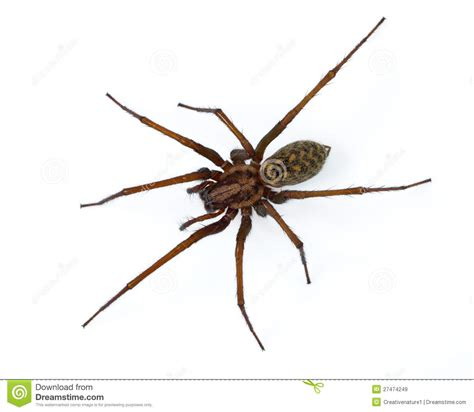 white house spider white house spider 28 images common house spider 7 legs eeeek jumped a bloody mile