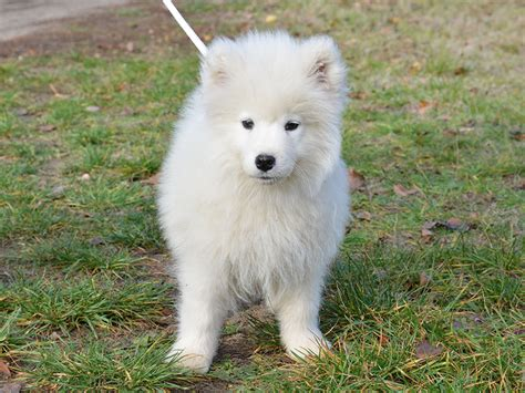 samoyed puppy for sale boxster samoyed puppy for sale puppy