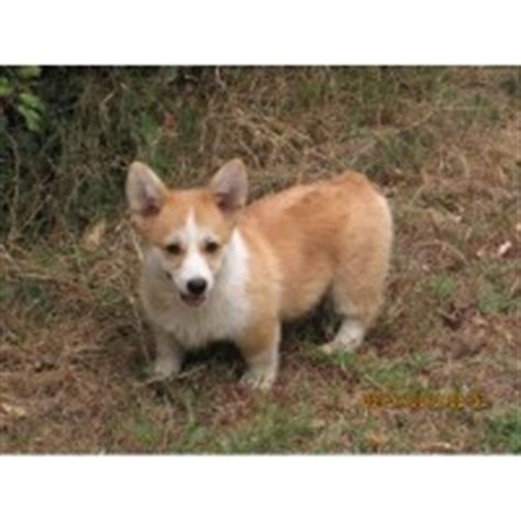 yorkie puppies for sale in cabot arkansas pembroke corgi breeders in arkansas freedoglistings