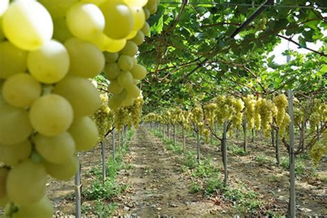 Tanaman Buah Anggur Pohon 40cm tanaman anggur hijau belgia bibitbunga