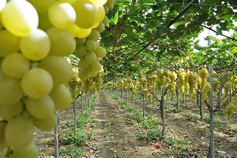 Bibit Okra Hijau tanaman anggur hijau belgia bibitbunga