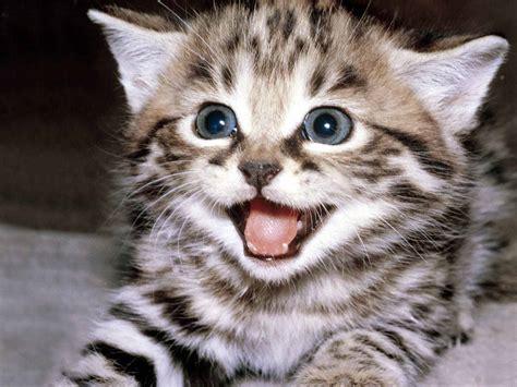 Gambar Foto Kucing Lucu ivanildosantos gambar kucing