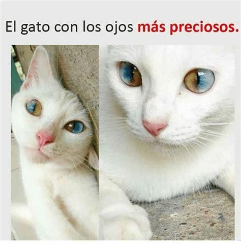 el gato con los ojos mas preciosos meme on sizzle