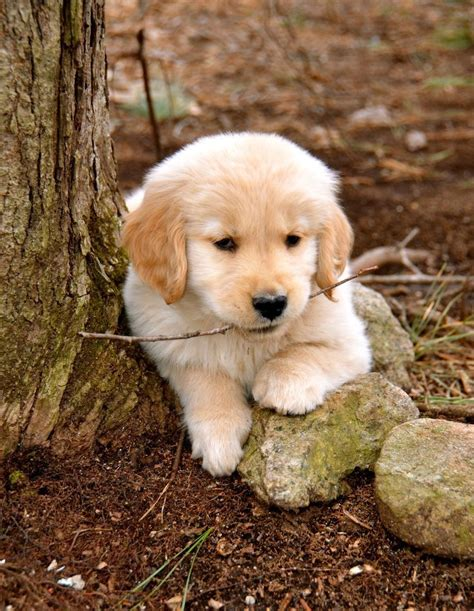 Puppy Golden Retriever 10 ideas about golden retriever puppies on