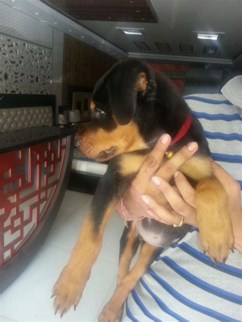pomeranian puppies for free adoption in hyderabad tiger rottweiler for adoption delhi independent 16515 dogspot