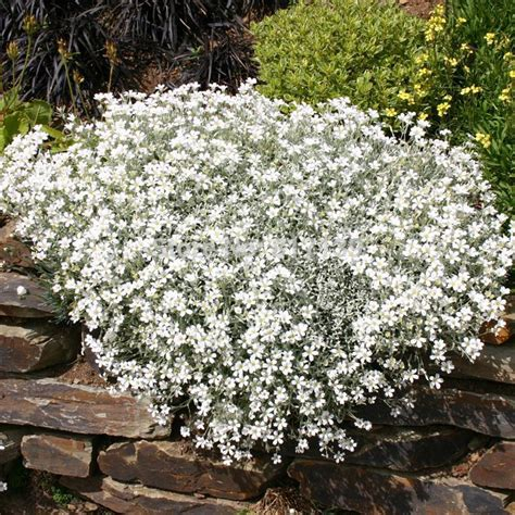 diy home garden plant 10 seeds snow in summer cerastium