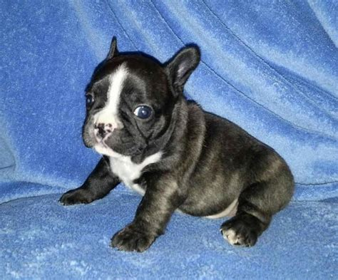 puppies for sale tx bulldog puppies for sale in shipping available in hoobly classifieds