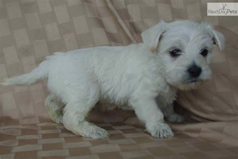westiepoo puppies pin westiepoo puppies for sale image search results on