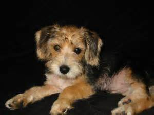 poogle puppies poogle poodle beagle mix facts temperament puppies pictures