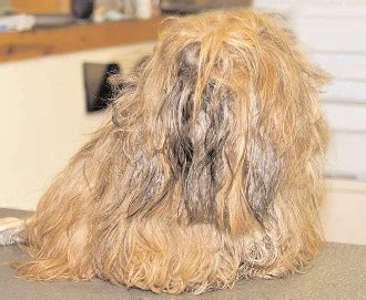 How To Trim Matted Cat Hair by Matted Hair On Your Matted Hair And