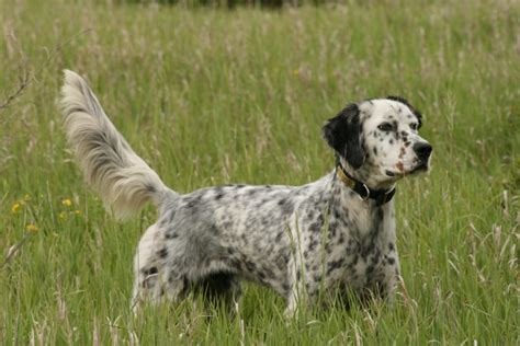 setter gun dog hunting dog breeds 5 of the best sporting canines