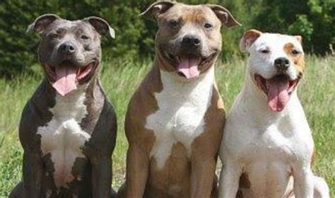 pitbull types your pit bull types 3 standard pit bull types a place for pitbulls