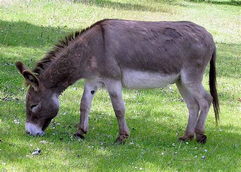 Burro Animal by Mule Breeds Picture