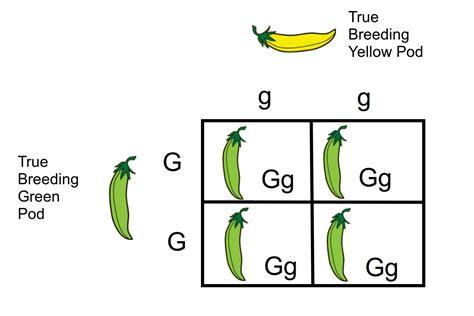 design an experiment to test for true breeding plants monohybrid cross a genetics definition
