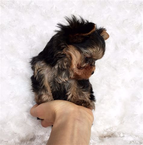 yorkie price range micro teacup yorkie puppy for sale iheartteacups
