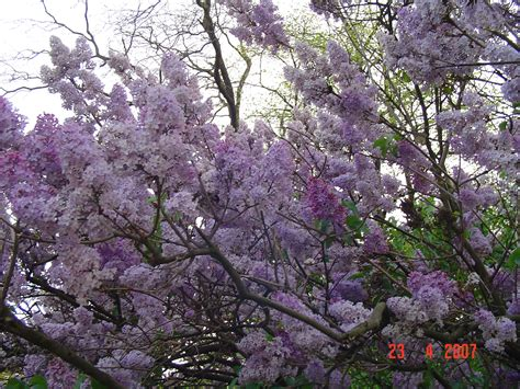lilac tree lilac tree wallpaper www pixshark images galleries