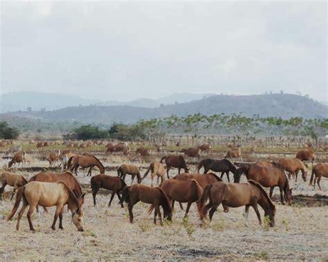 Kuda Liar Khas Sumbawa mengejar kuda liar di sumbawa
