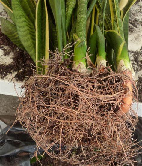 pianta con fiori bianchi tipo calla sansevieria liliaceae como curar y cultivar las