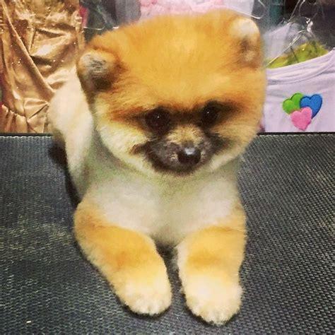 asian pomeranian asian fusion grooming for pomeranian dogs pomeranian teddy costa rica seminary