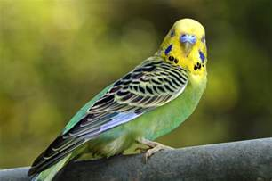 Small Bathroom Diy Ideas Parakeets And Budgies Species Profile