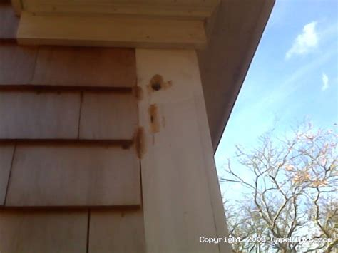 woodpecker damage to house siding woodpecker on house siding 28 images how to get rid of woodpeckers easy steps to