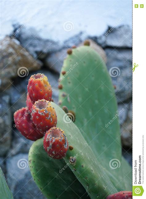 image prickly pear cactus fruit download prickly pear cactus with fruit mykonos greece stock photo