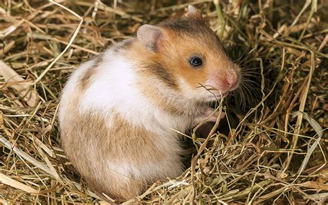 Best Bedding For Hamsters by Best Hamster Bedding For Or Syrian Hamsters