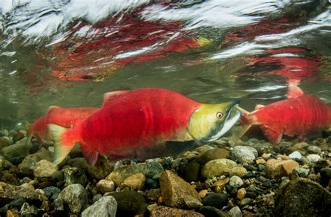 Lachs Bilder by Sockeye Salmon Underwater Images