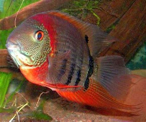 breeding red severum cichlid tropical fish keeping cichlids tropical fish keeping