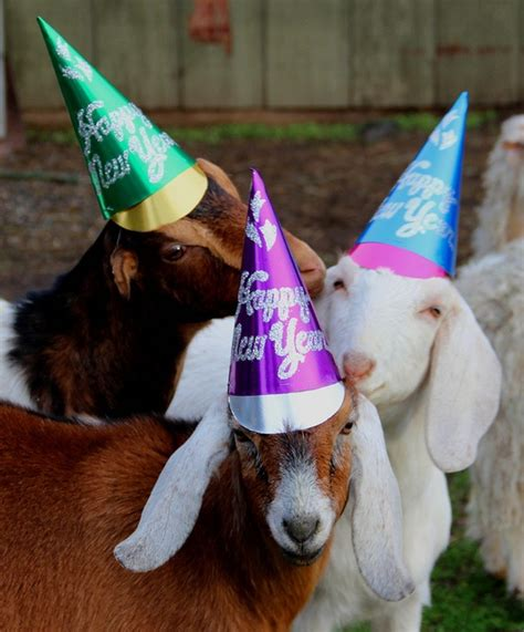 new year wishes goat 56 best mood board happy kid baby goat images on