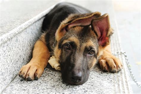 german shepherd puppy ears ears german shepherd glossy poster picture photo puppy puppies pet 1132 ebay