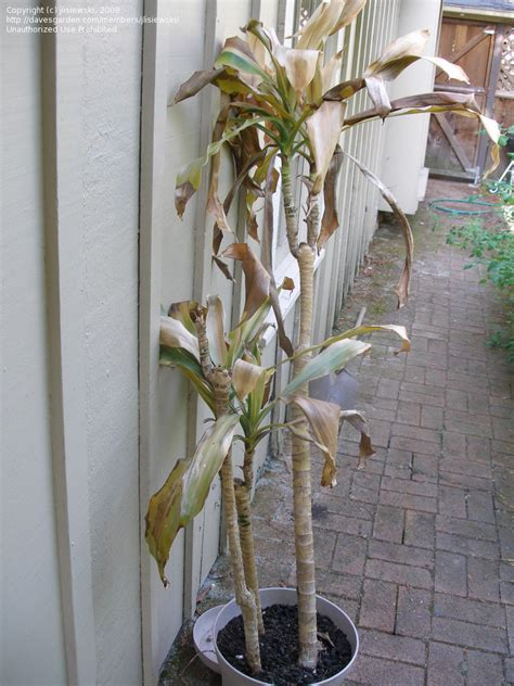 how to revive a dying plant beginner gardening is my corn plant dead if not what can i do to revive it 1 by jlisiewski