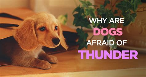 why are dogs scared of thunder why are dogs afraid of thunder how to calm a during a