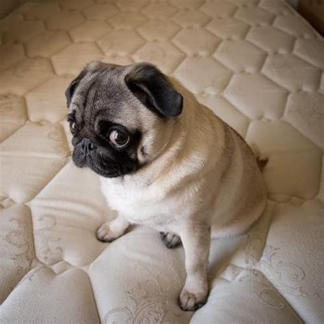 what do pugs 16 best images about guilty pug on