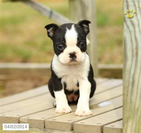 boston terrier puppies missouri 25 best ideas about boston terrier for sale on boston terrier pups