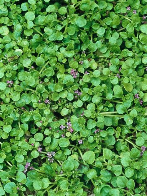 sun l for plants corsican mint mentha requienii 24 groundcover plants