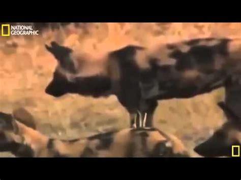 film lion vs hyena national geographic documentaty 2015 lion vs hyena