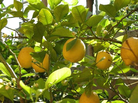 how much light does a lemon tree need tips for growing lemons in the garden or indoors