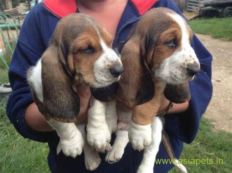 basset hound puppies price basset hound puppy price in india basset hound puppy for sale in india basset hound
