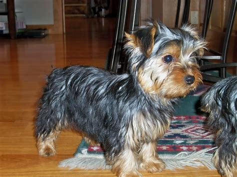 grown yorkies yorkie poo grown breeds picture
